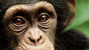 Chimpanzee Header